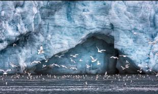 Gulls---Svalbard
