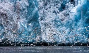 Gulls---Svalbard-II