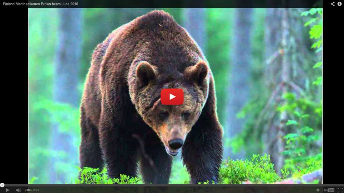 Finland Martinselkonnen Brown Bears